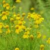 Helenium amarum - Bitter Sneezeweed