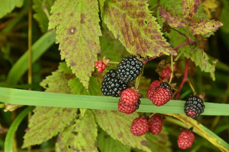 Rubus fruticosus - Blackberry