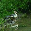 Cairina moschata - Muscovy duck