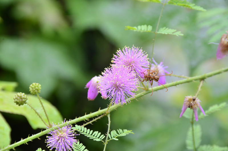 Mimosa microphylla - Catclaw Sensitive-Briar