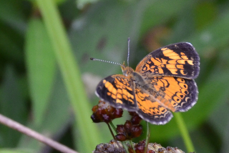 Phyciodes tharos - Pearl Crescent Butterfly