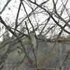 Picoides pubescens - Downy Woodpecker