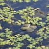 Marsilea mutica - Four Leaf Water Clover