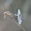 Epitheca costalis - Stripe-winged Baskettail
