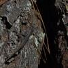 Sceloporus undulatus - Eastern Fence Lizard