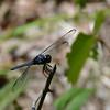 Libellula incesta - Slaty Skimmer Adult Male