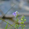Lamiaceae - <br /> Scutellaria integrifolia - Helmet Skullcap