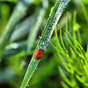 Coccinella septempunctata - Seven-spot ladybug