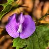 Clitoria mariana - Butterfly Pea Vine