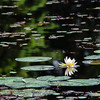 Nymphaeaceae - <br /> Nymphaea odorata - American White Water Lily