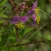 Melastomataceae - <br /> Rhexia mariana - Pale Meadow Beauty