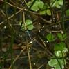 Erythemis simplicicollis - Eastern Pondhawk - Adult Male
