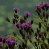 Vernonia gigantea - Tall Ironweed