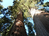 Two giant Sequoias on the low ridge above Crescent Meadow.