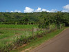 Hanalei Valley taro farm panorama