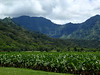 Hanalei Valley taro fields