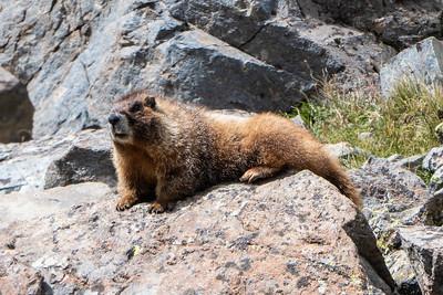 Well fed Marmot