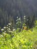 Sitka Valerian and Paintbrush in bloom