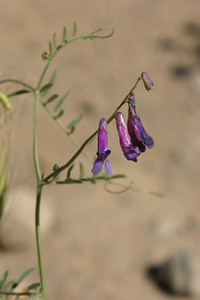 More purple flowers of a different persuasion. Probably hairy vetch aka winter vetch (Vicia villosa).