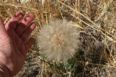 Looks like a dandelion, but much much larger.