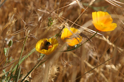 California poppies with a bee gathering pollen. I tried and tried to get a better shot, but he was (naturally, being a bee) too busy zipping from flower to flower. You can see that his leg sacs are stuffed with golden pollen, and a moment later he zoomed away to drop his gatherings at the hive.