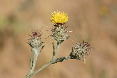 Tiny yellow thistle. Appears to be Centaurea meitensis, a nonnative species.