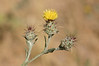 "Tiny yellow thistle. Appears to be <a href=""http://en.wikipedia.org/wiki/Centaurea_melitensis"">Centaurea meitensis</a>, a nonnative species."