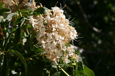 Close-up of big white scented flowers.