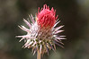 "Large red thistle. Note the fine hairs that look like spiderweb. Most likely Venus Thistle (<a href=""http://en.wikipedia.org/wiki/Cirsium_occidentale"">Cirsium occidentale</a> var. venustum, also called C. proteanum or Coulter's thistle C. coulteri--clear yet?)"