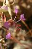 "Different little purple flowers.  This seemed to be Purple Flower Season at Henry Coe. (Looks like Elegant Clarkia (<a href=""http://en.wikipedia.org/wiki/Clarkia_unguiculata"">Clarkia unguiculata</a>)."