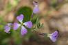 "Little purple and white flowers. <a href=""http://en.wikipedia.org/wiki/Raphanus_sativus"">Raphanus sativus</a> (wild radish)."