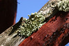 Interesting texture and color contrast between this lichen and the red bark of this Manzanita.
