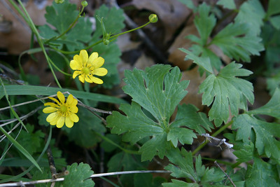 It was really too early for wildflowers. In over 2 miles of hiking, we saw only maybe half a dozen flowers. Not TYPES of flowers--flowers. This is a California Buttercup (Ranunculus californicus).