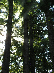 The sun through the redwoods at Cathedral Grove.