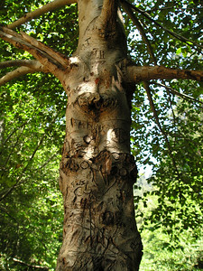 Despite heavy carvings at least 10 feet up the trunk, and some as much as 20 feet up, this tree thrives in the riverbed.