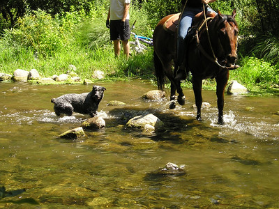 This beautiful gray cattle-dog-probably followed the horses through the river. I am continuing to succeed in having all dog photos blurry. (This camera is not good at handling motion.)