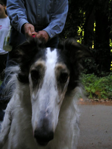 Natalia the Borzoi (Russian Wolfhound). Twice I got her to perk up her ears (not too common for these dogs) and look right at me, but danged point and shoot wasn't up to the job.