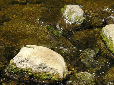 """As we started back across the river, I suddenly noticed this snake half-sunbathing on a rock on which I needed to step. Unfortunately had only this camera, not good for small wildlife from a long distance. Swam away as I moved closer. I asked californiaherps.com for an identification, and he was kind enough to reply: """"The snake has a yellow line on its back, making it a garter snake. The whipsnakes only have stripes on the sides. Also, whipsnakes are not usually found in the water or in the woods. I don't see any red on the sides, so my guess is that it's a Santa Cruz Gartersnake, an aquatic gartersnake which you would expect to see in a creek or a pond in the Santa Cruz Mountains."""" Thamnophis atratus atratus"""