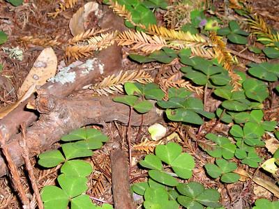 Redwood sorrel.