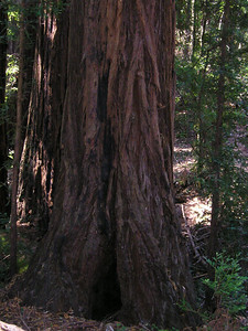 Redwood bark is rugged.