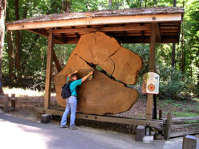 The obligatory marked-up redwood slice. My right hand points to the Birth of Christ; my left points to 1066 and the Norman Invasion. This tree was over 2200 years old at its demise.