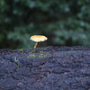 There are plenty of mushrooms to be found in the Santa Cruz Mountains.