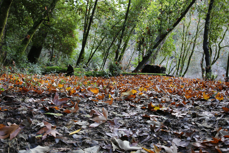 A look at the forest floor in the redwoods.  There are lots of leaves breaking down and lots of freshly fallen leaves.