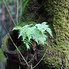 It is so damp here that moss grows on the trees and ferns grow on them too.