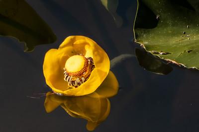 Water Wildflower