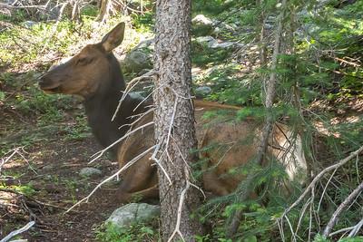 Cow Elk in the Trees