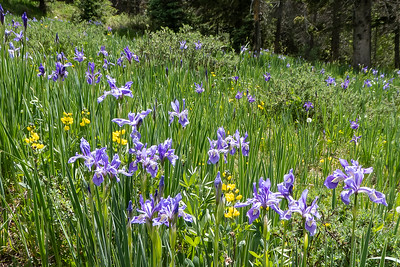 Rocky Mountain Iris and Golden Pea