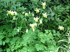 Yellow Columbine.