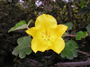 "Saw lots of flowers; spring is here for sure! <a href=""http://en.wikipedia.org/wiki/Fremontodendron"">Fremontodendron</a>, a California native, has spectacular palm-sized yellow flowers."