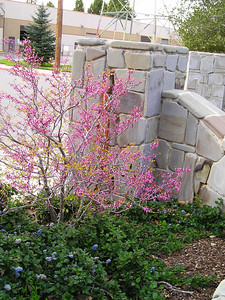 This might be redbud nestled among a low-growing ceanothus. Don't know my redbuds well.